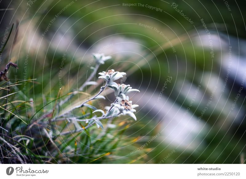 Edelweiss - Nice! Natur Sommer Pflanze Blume Berge u. Gebirge Umwelt wandern Alpen Edelweiß Alpenwiese