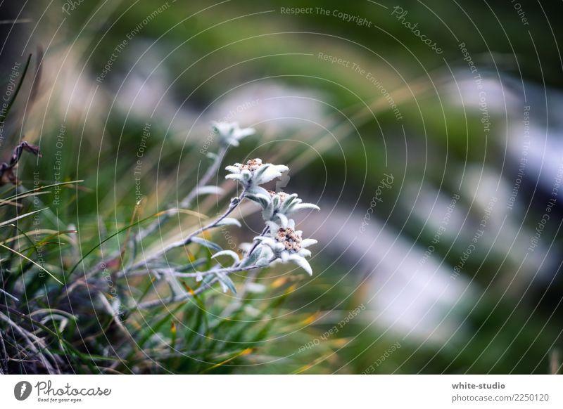 Edelweiss - Nice! Umwelt Natur Pflanze Sommer Blume Edelweiß wandern Alpenwiese Berge u. Gebirge Leontopodium nivale Alpen-Edelweiß Alpenblume Bergblume