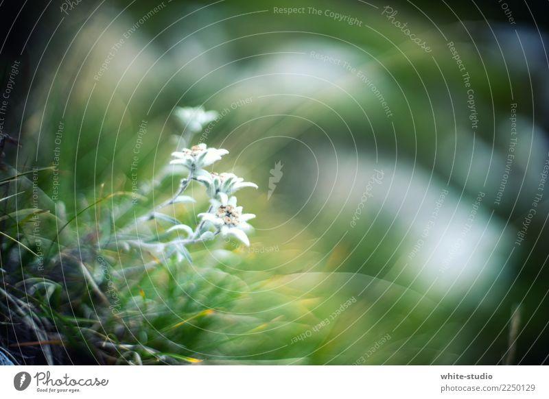 Edelweiss Natur Pflanze schön Blume Umwelt Gras Edelweiß