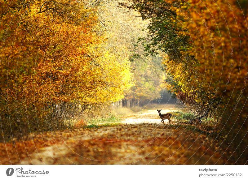 schöne Aussicht auf die Forststraße Frau Natur Landschaft Baum Tier Wald Straße Erwachsene gelb Herbst Wege & Pfade natürlich Spielen braun wild
