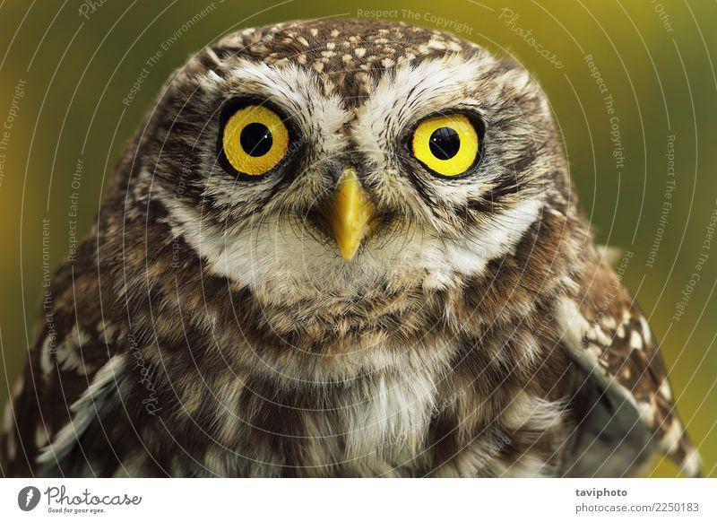 Nahaufnahme von kleinen Eule Augen schön Jugendliche Natur Tier Vogel natürlich niedlich wild braun gelb Waldohreule Raubtier Tierwelt Lebewesen Raptor Feder