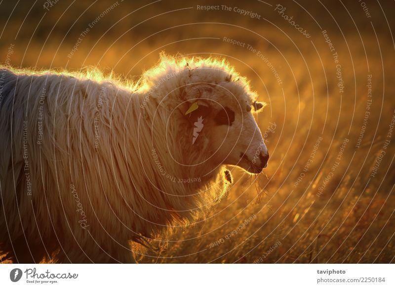 Nahaufnahme von Hausschafen im orange Licht schön Sommer Umwelt Natur Landschaft Tier Nebel Wiese hell natürlich niedlich gold Farbe Tradition Schaf Weide