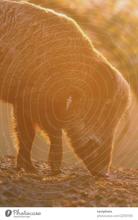 Nahaufnahme des großen Wildschweins im Morgengrauen Natur Farbe schön Tier Gesicht Umwelt natürlich Spielen braun wild gefährlich Lebewesen Säugetier Europäer