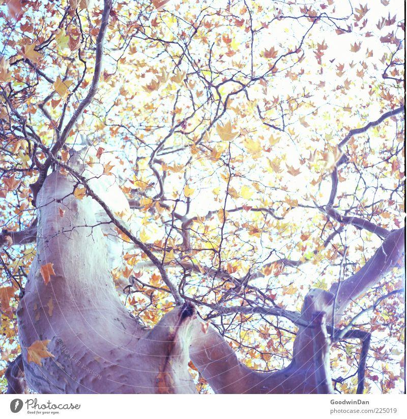 Das Ergebnis II Natur alt schön Baum Pflanze Blatt Herbst Umwelt groß natürlich authentisch nah Baumstamm Baumkrone eckig Baumrinde