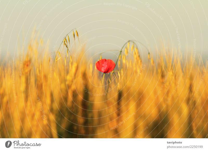 einzelne rote Mohnblume im Weizenfeld schön Sommer Natur Landschaft Pflanze Blume Blüte Wiese hell natürlich wild Farbe Feld ländlich Ackerbau Beautyfotografie