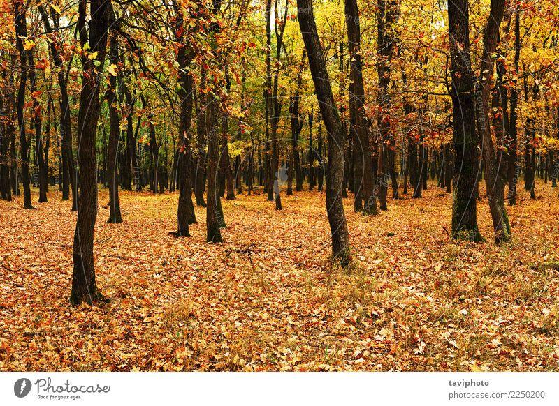 junger Wald im Herbst schön Umwelt Natur Landschaft Baum Blatt Park natürlich gelb gold Farbe fallen Jahreszeiten farbenfroh orange Licht Holz Hintergrund