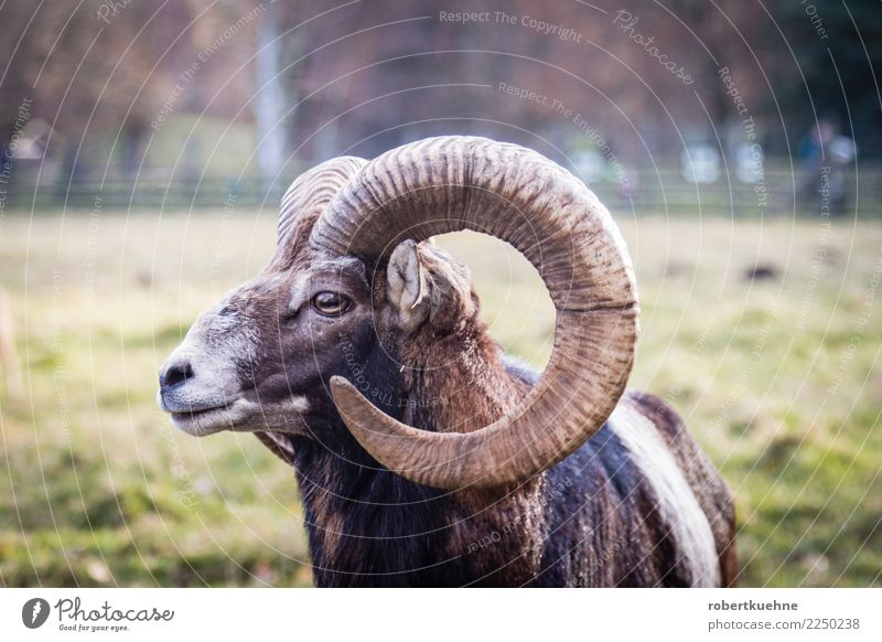 Europäisches Mufflon Natur Erholung Tier braun Wildtier Kraft stehen bedrohlich Mut Säugetier Jagd Tiergesicht Horn Querformat Wildpark