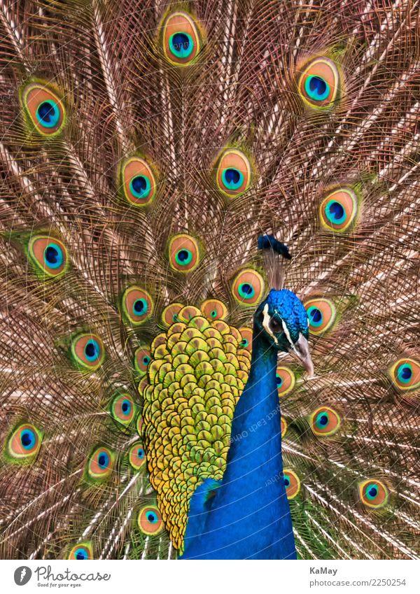 wunderschön und farbenreich exotisch Natur Tier Vogel Pfau Pavo christatus 1 Brunft elegant wild blau mehrfarbig gelb gold grün Farbe Nahaufnahme Feder Hahn