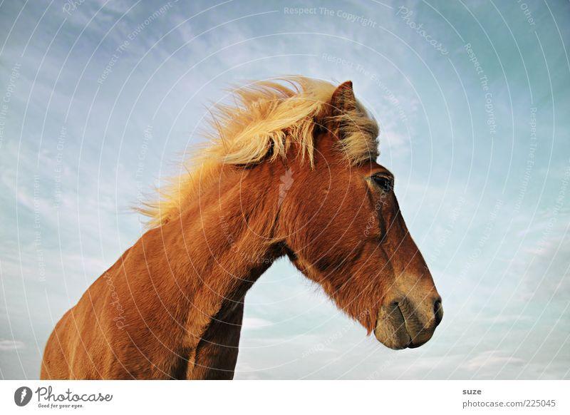Blick zurück Tier Himmel Wolken Wind Nutztier Wildtier Pferd Tiergesicht 1 stehen warten ästhetisch Freundlichkeit natürlich niedlich schön wild braun Mähne