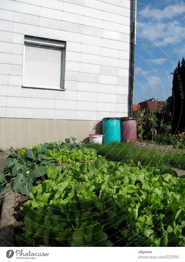 Planzsucht Lebensmittel Gemüse Kräuter & Gewürze Ernährung Bioprodukte Haus Garten Sommer Nutzpflanze blau grün Farbfoto Außenaufnahme Menschenleer Licht