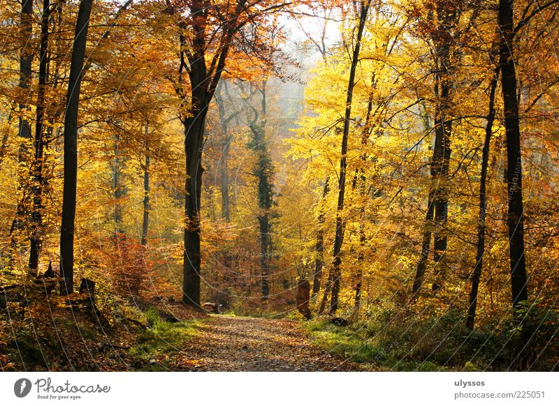 Herbstgold Erholung ruhig Ausflug Freiheit Umwelt Natur Landschaft Schönes Wetter Baum Gras Sträucher Blatt Grünpflanze gelb einzigartig Freude Wege & Pfade
