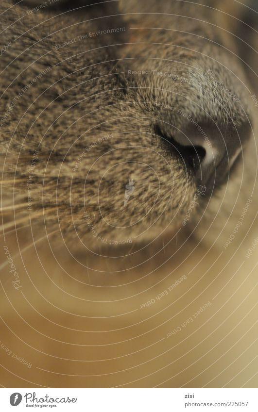 Die Schönheit eines Lebewesens alt schön Tier grau Stil Katze ästhetisch Tiergesicht Fell Geruch Wachsamkeit Haustier kuschlig Stolz Schnauze Bildausschnitt