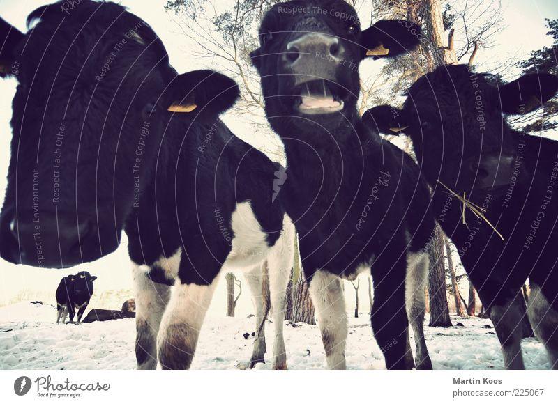 Kuckuck Kuh Winter Tier Schnee Tierjunges nass Tiergruppe außergewöhnlich Fell Landwirtschaft Weide Fleisch kuschlig Maul Herde Nutztier