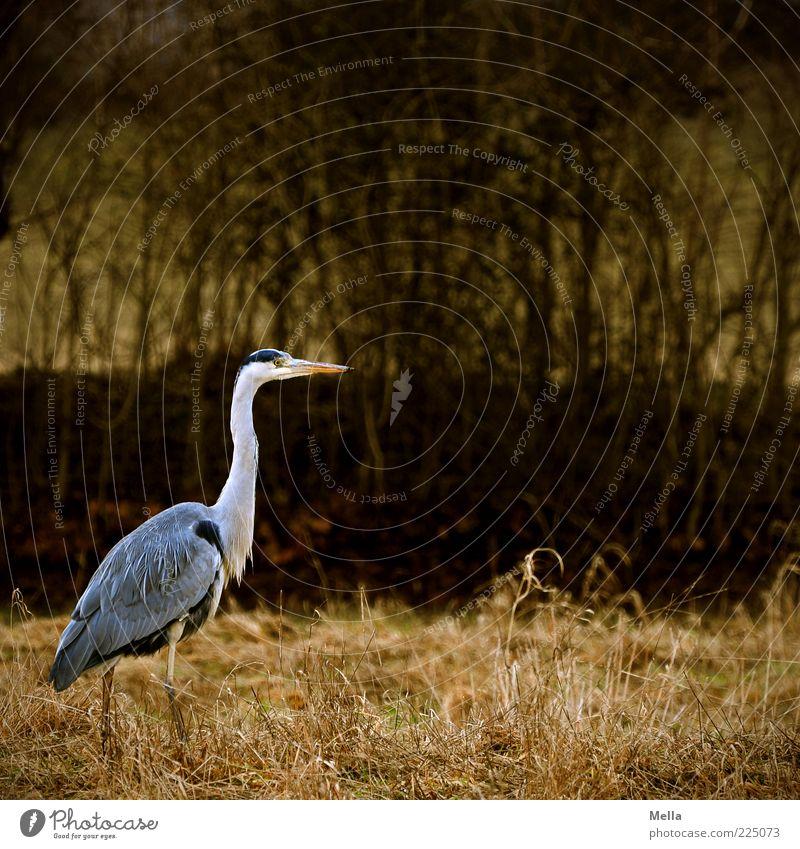 Reiherlei Natur ruhig Tier Freiheit Umwelt Gras grau Stimmung braun Vogel gehen frei stehen Sträucher natürlich Wildtier