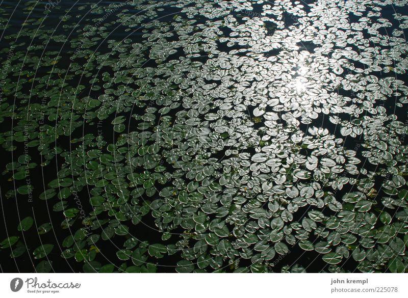Die Gefährten Wasser Seerosen Seerosenteich grün schwarz Reflexion & Spiegelung Blatt viele Wasserpflanze Farbfoto Außenaufnahme Menschenleer Sonnenlicht