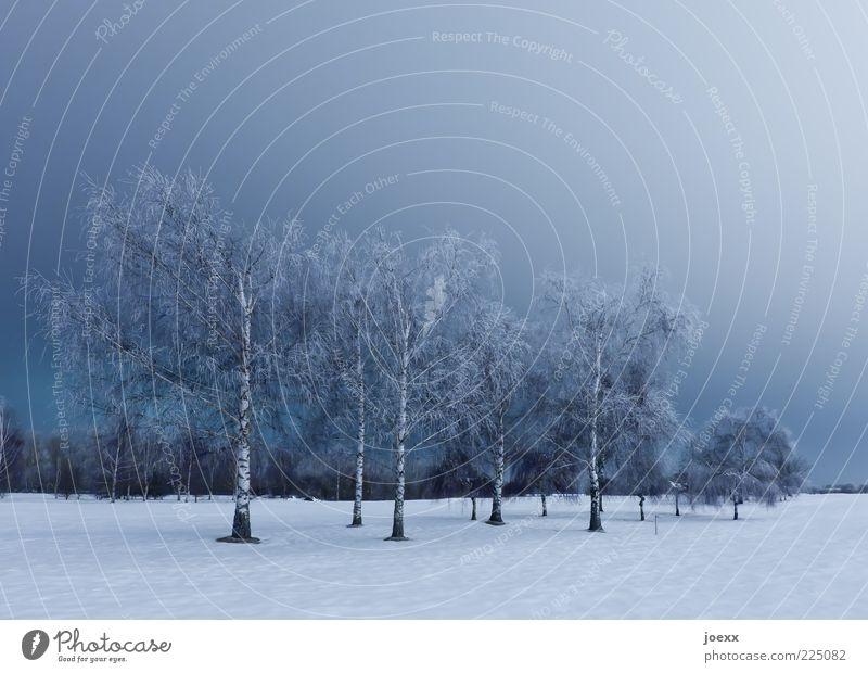 Birken Natur Landschaft Himmel Winter Eis Frost Schnee Baum Park groß blau weiß ruhig kalt Wäldchen Farbfoto Gedeckte Farben Außenaufnahme Abend Nacht