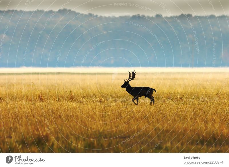 Damhirsch Bock im Morgenlicht Natur Mann Farbe schön Landschaft Tier Wald Erwachsene Umwelt Herbst natürlich Spielen braun wild Nebel groß