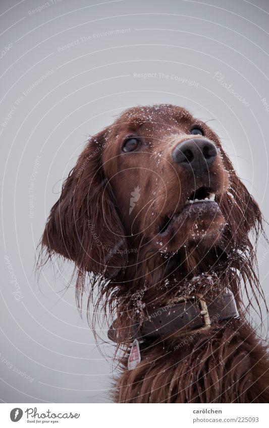 Leckerli? Tier Haustier Hund 1 braun grau Irish Setter Hundekopf Wachsamkeit Tiergesicht Schnee Schneefall Winter Farbfoto mehrfarbig Außenaufnahme