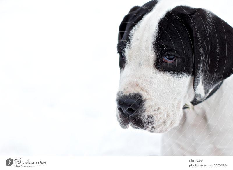 Wag dich! weiß ruhig schwarz Tier Auge Hund Traurigkeit warten sitzen Tiergesicht niedlich beobachten Neugier Gelassenheit Wachsamkeit Haustier