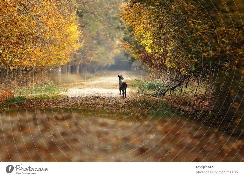 Damhirschkitz, der auf Landstraße steht Frau Natur schön Landschaft Baum Tier Wald Straße Erwachsene gelb Herbst Wege & Pfade natürlich Spielen braun wild