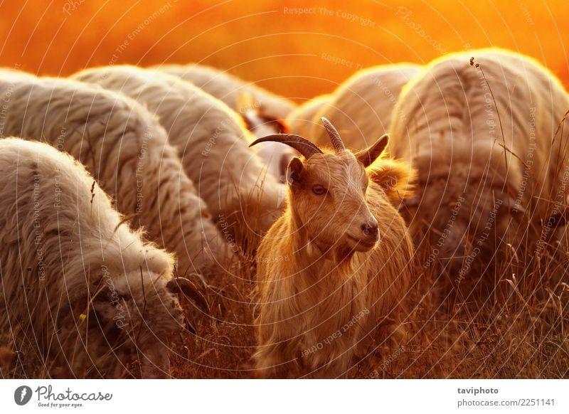 Porträt einer Hausziege Glück schön Sonne Mann Erwachsene Natur Landschaft Tier Herbst Gras Wiese Pelzmantel Vollbart Haustier Herde Fressen grün weiß Ziegen