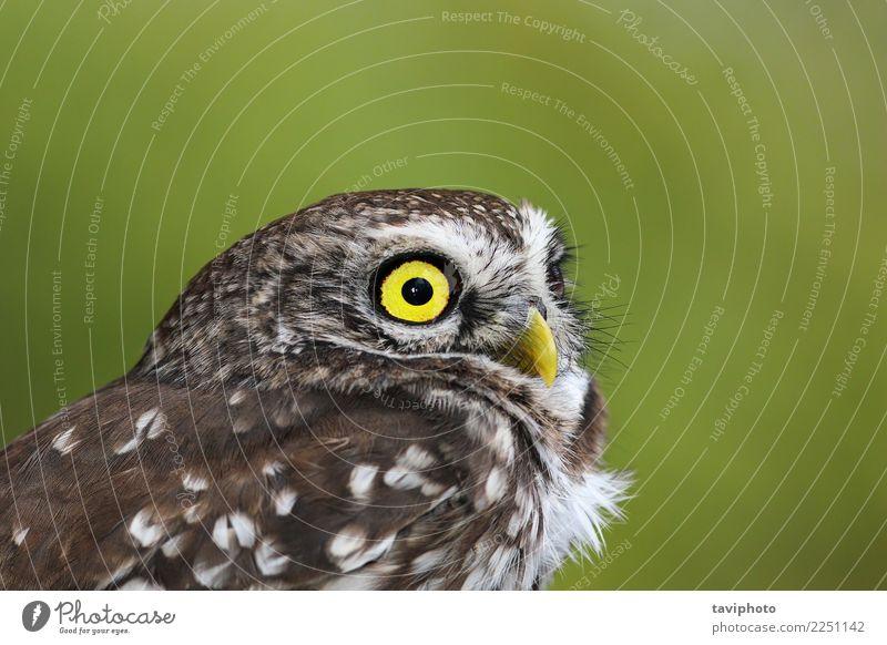 Porträt der schönen Athene Noctua Gesicht Erwachsene Natur Landschaft Tier Vogel klein natürlich niedlich wild braun gelb grün Farbe athen Waldohreule Tierwelt