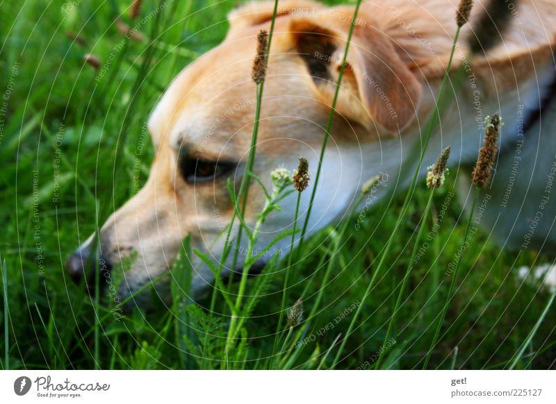 Hund im Gras, suchst du was? Natur weiß Sommer Tier Wiese Kopf braun Nase Urelemente Geruch Haustier Hundeschnauze Gassi gehen