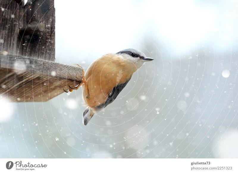 I'm hungry... Garten Natur Tier Winter Schnee Schneefall Wildtier Vogel Kleiber Sperlingsvögel Singvögel 1 beobachten frieren Blick klein schön orange Glück