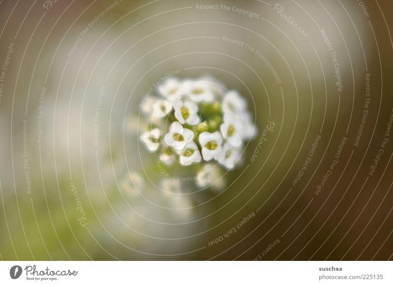 ausmisten ... Natur weiß Pflanze Sommer Blume Umwelt Blüte Frühling klein Blühend Duft Blütenblatt Makroaufnahme