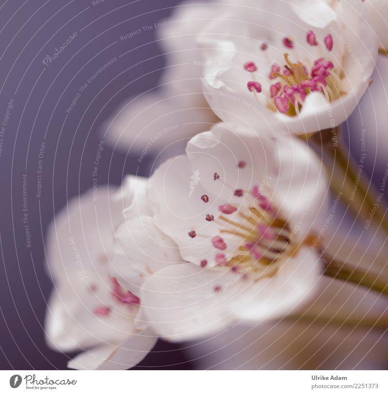 Frühlingszauber Natur Pflanze schön weiß Blume Erholung ruhig Leben Blüte Garten Zufriedenheit Park Blühend Romantik Hochzeit