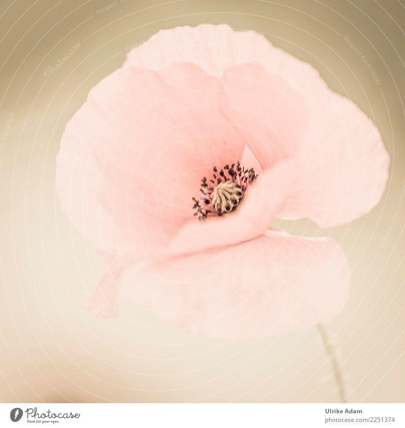 Rosa Mohn elegant Design Wellness Leben harmonisch Wohlgefühl Zufriedenheit Erholung ruhig Meditation Valentinstag Muttertag Natur Pflanze Sommer Blume Blüte