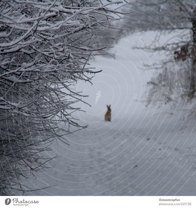 alter Hase Natur Pflanze Tier Winter Schnee Sträucher Wildtier 1 hocken Blick authentisch Neugier niedlich braun schwarz weiß Hase & Kaninchen Zweige u. Äste