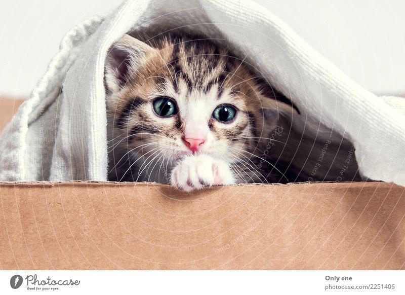 Bengalisches Mischkätzchen Tier Haustier Katze Tiergesicht 1 Tierjunges berühren Denken füttern Lächeln lachen Spielen natürlich schön stark Glück Farbfoto