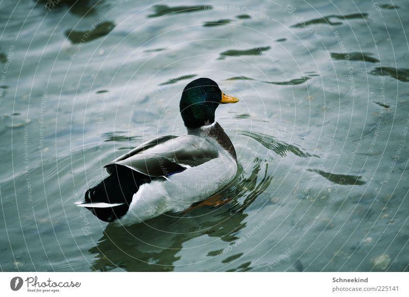 Badeente Umwelt Natur Urelemente Wasser See Tier Wildtier 1 Ente Schnabel Feder Wellen schön gefiedert Im Wasser treiben Farbfoto Außenaufnahme Menschenleer