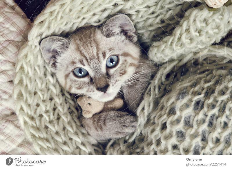 Schnee Bengal Kätzchen Tier Haustier Katze 1 Tierjunges schlafen Farbfoto Innenaufnahme Studioaufnahme Nahaufnahme Detailaufnahme Blitzlichtaufnahme