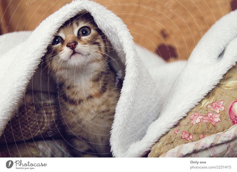 Bengalisches Kätzchen Tier Haustier Wildtier Katze Tiergesicht 1 Tierjunges hören Jagd Bengalen Katzenbaby kuschlig Kuscheln Farbfoto mehrfarbig Innenaufnahme