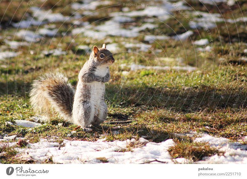 Ein U.S. Amerikanisches Nagetier Natur Erde Frühling Eis Frost Schnee Park Wiese Tier Eichhörnchen 1 warten frech Neugier Frühlingsgefühle fleißig Ausdauer kalt