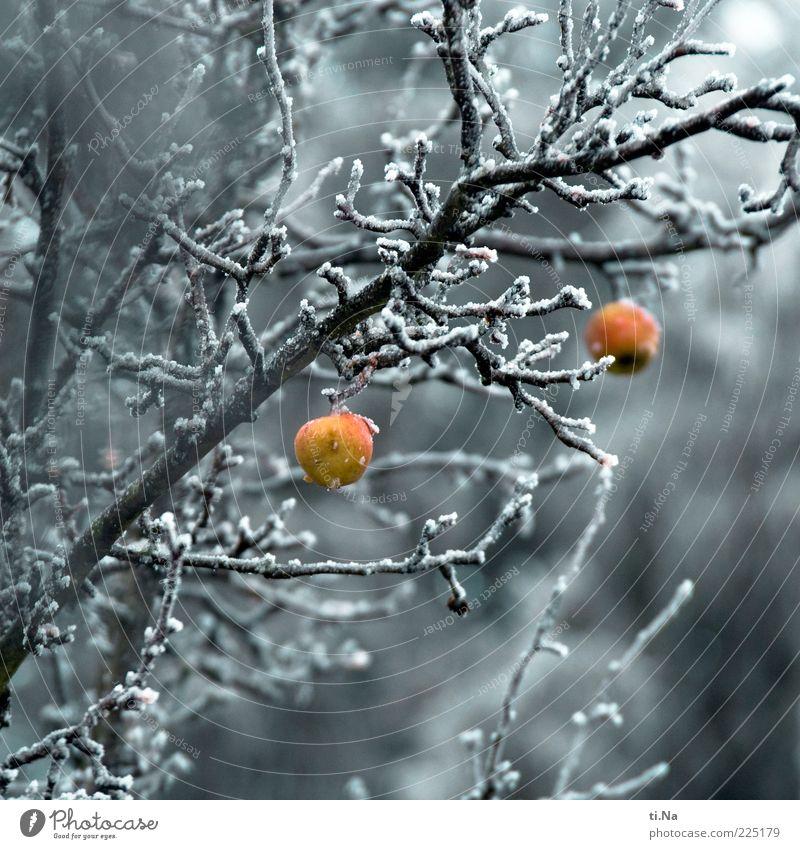 Adam und Eva Natur Baum Pflanze rot Winter gelb kalt Umwelt grau Eis Frost authentisch Apfel Ast frieren hängen