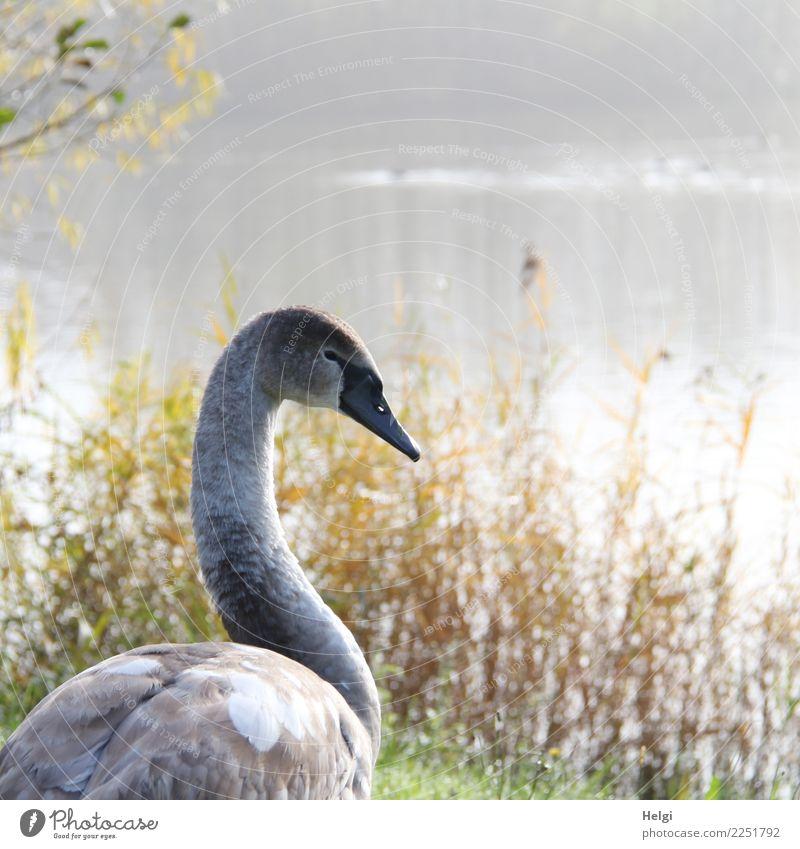 morgens am See Umwelt Natur Landschaft Pflanze Tier Wasser Herbst Schönes Wetter Wildpflanze Schilfrohr Seeufer Wildtier Vogel Schwan 1 Tierjunges Blick stehen
