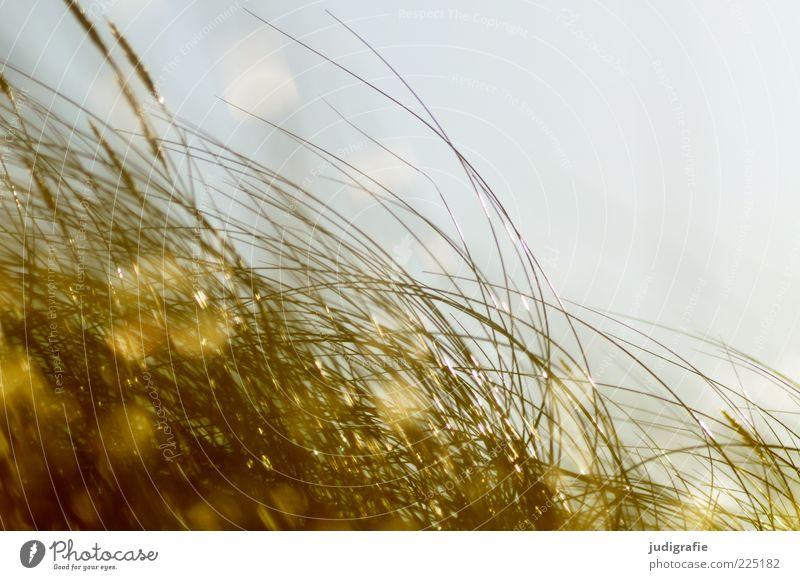 Weststrand Umwelt Natur Pflanze Wind Gras glänzend leuchten Wachstum natürlich wild weich Stimmung Dünengras Farbfoto Außenaufnahme Tag Lichterscheinung