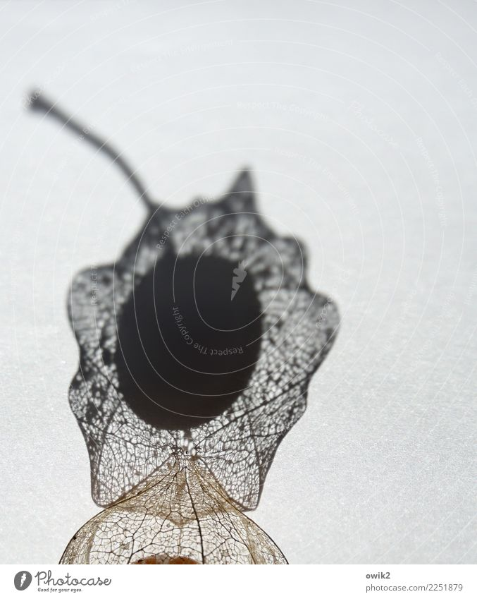 Obstkorb exotisch Physalis Frucht dehydrieren dünn authentisch klein nah trocken netzartig Stengel Unikat Hülle verkehrt zerbrechlich Lampionblume Farbfoto