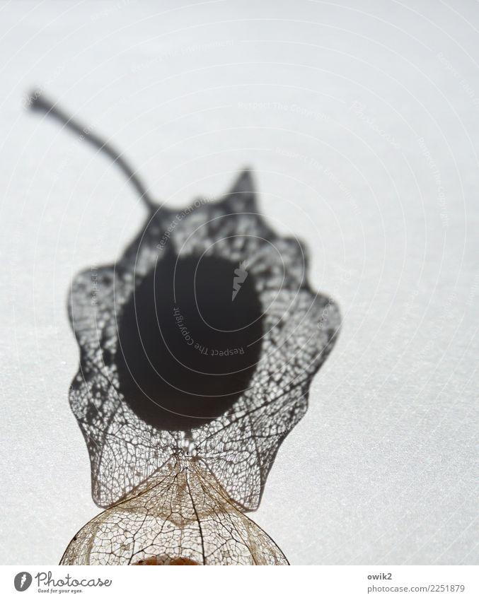Obstkorb klein Frucht trocken nah Stengel exotisch Physalis netzartig