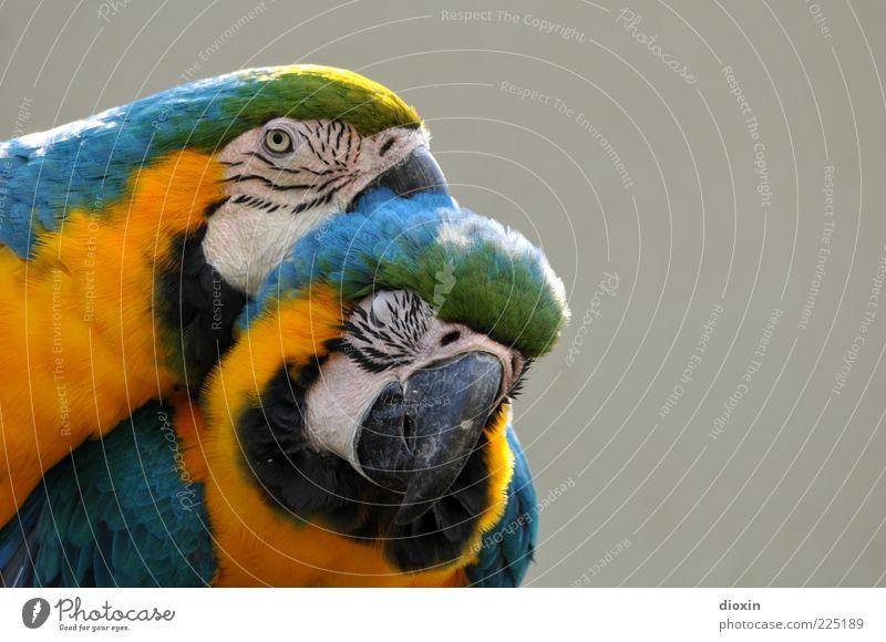 all you need is love [LUsertreffen 04|10] Tier Haustier Vogel Zoo Papageienvogel Ara Ararauna 2 genießen Küssen Lächeln exotisch Glück Zufriedenheit