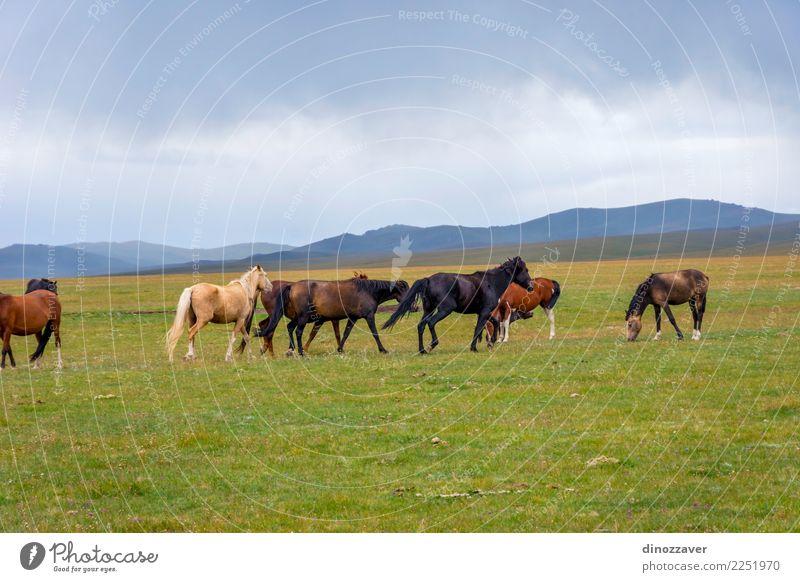 Pferde um Lied Kul See, Kirgisistan Himmel Natur Ferien & Urlaub & Reisen blau Sommer schön grün Landschaft Wolken Berge u. Gebirge Wiese natürlich Gras