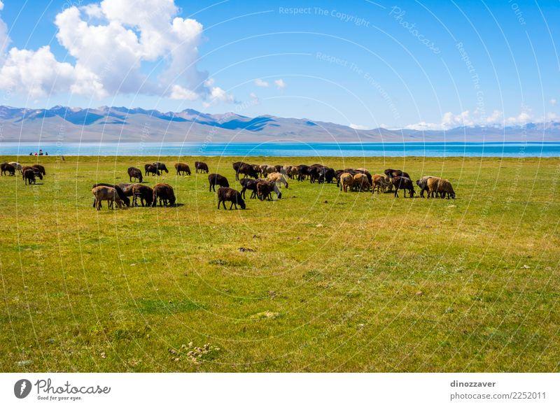 Herde von Schafen von Song Kul See schön Ferien & Urlaub & Reisen Sommer Berge u. Gebirge Natur Landschaft Tier Wolken Nebel Gras Park Wiese Hügel Felsen