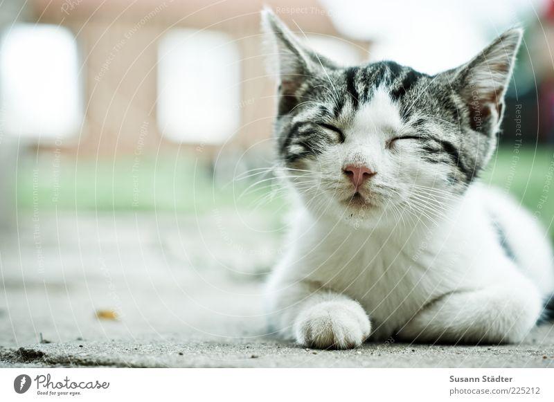 ich bin dann mal weg weiß ruhig Tier Erholung Katze Tierjunges schlafen Tiergesicht Liege Bauernhof Gelassenheit Müdigkeit Haustier lässig geschlossene Augen geduldig