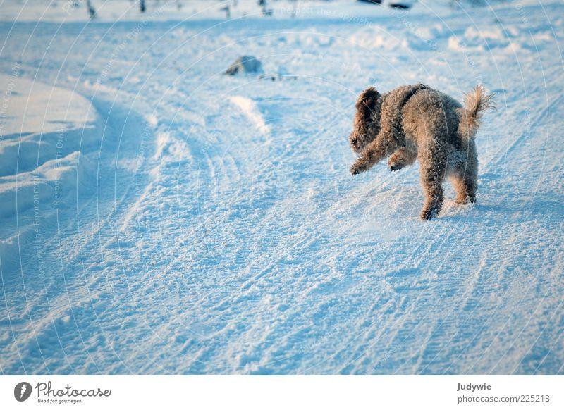 Und Action! Winter Schnee Umwelt Natur Eis Frost Locken Tier Haustier Hund Pudel laufen rennen Geschwindigkeit blau Freude Lebensfreude Begeisterung Mut