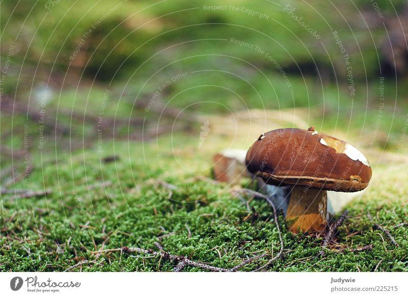 Angefressen Umwelt Natur Pflanze Sommer Herbst Moos Pilz Wachstum lecker natürlich braun grün Märchenwald Farbfoto Außenaufnahme Nahaufnahme Menschenleer