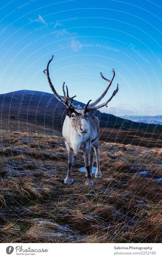 Authorität. Umwelt Natur Landschaft Pflanze Tier Wolkenloser Himmel Herbst Winter Schnee Gras Sträucher Wiese Hügel Berge u. Gebirge Gipfel