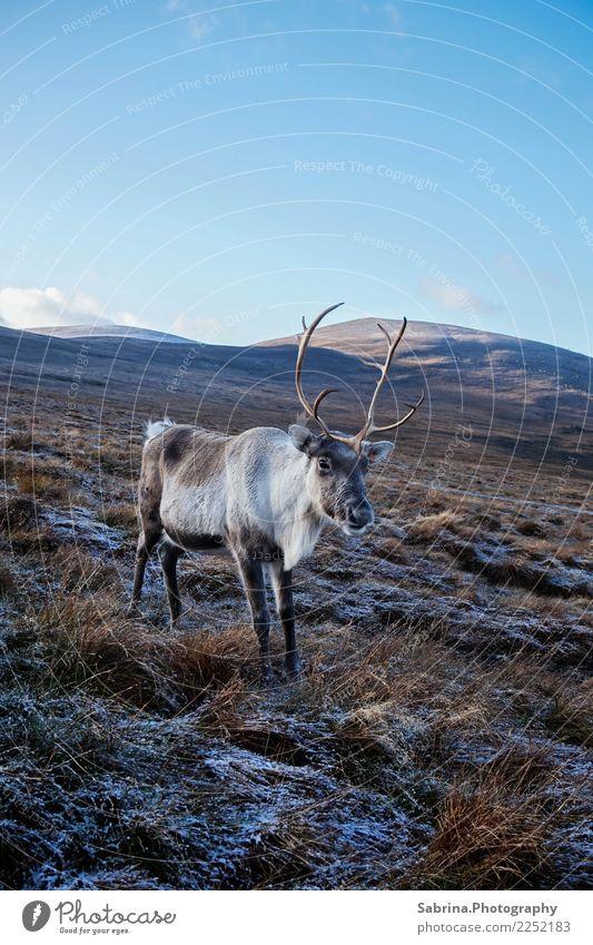 Rentier in den Schottischen Highlands, Großbritannien Umwelt Natur Landschaft Pflanze Tier Wolkenloser Himmel Herbst Winter Schönes Wetter Schnee Gras Sträucher